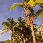 Cocos palms